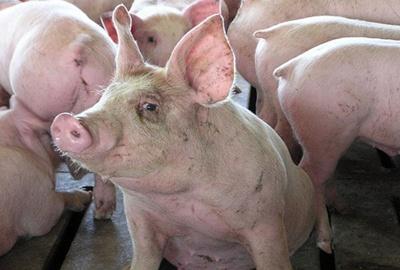 Románia védelmi övezetet alakít ki a sertéspestis megfékezése érdekében