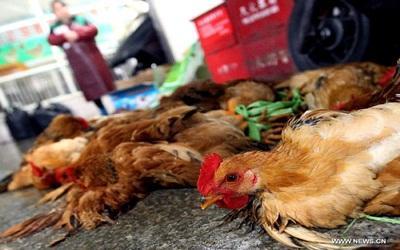 Madárinfluenzával fertőzött szárnyasokat öltek le Horvátországban