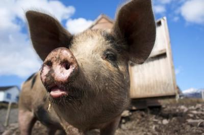 Kárpátalján már házi sertésekre is átterjedt a sertéspestis