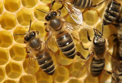Egy fontos tanulmány a méhek áldásos munkájáról